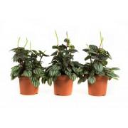 Plant Pannenkoekenplant piccolo banda (per 3 stuks)