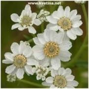 Achillea ptarmica 'Florepleno' - Řebříček bertrám