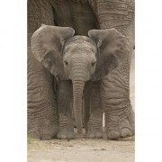 Geen Poster baby olifant 91 x 61 cm