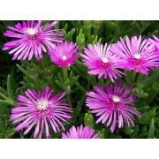 """Lampranthus """"Pink"""""""