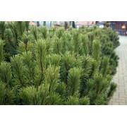 Törpefenyő / Pinus mugo - 20-25