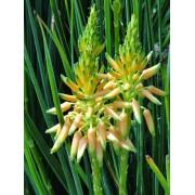 Cooper's Grass Aloe