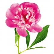 Sticker Perete Floare de Bujor Roz