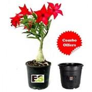 Adenium Plant Red with Freebie