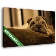 Alvó shar-pei kutya (40x25 cm, Vászonkép )