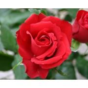Rózsa szörp 500ml