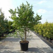 Plantenwinkel.nl Magnolia struik Stellata - 150 - 175 cm - 3 stuks