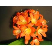 """Clivia """"Orange"""""""