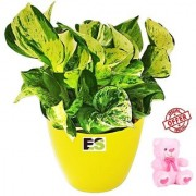 ES COMPACTE LUCKY MONEY PLANT NATURAL WITH FREE COMBO GIFT - 6 TEDDYBEAR-PINK