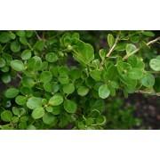 Kislevelű bukszus (kislevelű puszpáng) / Buxus microphylla