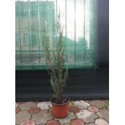 Juniperus Blue Arrow (70 cm)