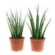 Plant Vrouwentong Sanseveria Fernwood Mikado (per 2 stuks)