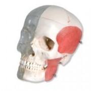 modello teschio cranio umano trasparente bonelike anche per odontoiatr