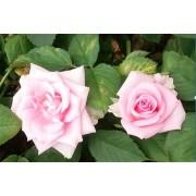 バラ ピンク 25本