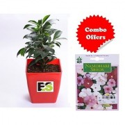 ES Ficus Green Plant with Combo Freebie with Indica Hybrid Seeds