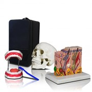 Parco Scientific Elementary and High School Learning Package. Set of Three Human Anatomy Models, Teeth, Skull and Skin with Carrying Case.