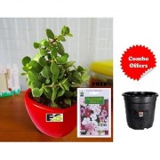 ES Natural Jade Plant in Red-Heart with Indica Hybrid Seeds