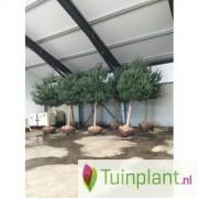 Oostenrijkse den Boomvorm Pinus nigra nigra