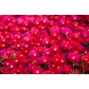 "Lampranthus ""Red"""