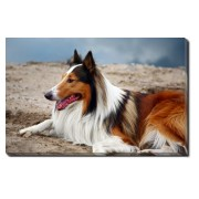 Tablou Canvas Scottish Collie