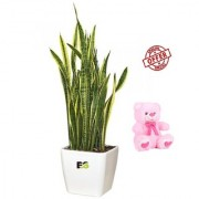 ES SENSETIVE SNAKE PLANT LIVE WITH FREE COMBO GIFT - 6 TEDDYBEAR-PINK