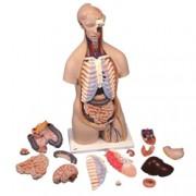 modello anatomico tronco completo di organi removibile - 87x38x25cm -