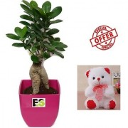 ES DECORATIVE 3 YEAR OLD GRAFTED INDOOR LIVE BONSAI ADENIUM PLANT WITH FREE COMBO GIFT - 6TEDDYBEAR