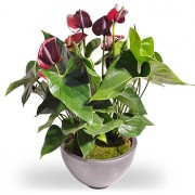 Rode Anthurium