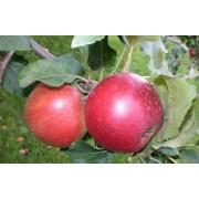 Măr Aromat de vara