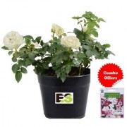 ES English White Rose Plant Combo with Indica Hybrid Seeds