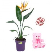 ES BIRD OF PERADISE LIVE PLANT WITH FREE COMBO GIFT - 6 TEDDYBEAR-PINK