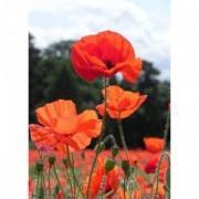 Tablou Canvas Maci rosii 11 50 x 70 cm Rama lemn Multicolor