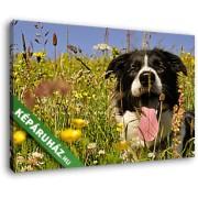 Border collie kutya a nyári virágmezőn (40x25 cm, Vászonkép )