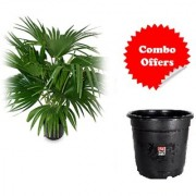 NATURAL Chinese Fan Palm LIVE PLANT WITH FREEBIE