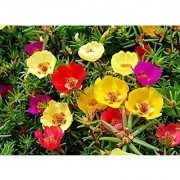 Flower Seeds : Portulaca Basket Flower Mixed -V1 Mix Flowering Plants Seeds Seeds For Gardening (2 Packets) Garden Plant Seeds By Creative Farmer