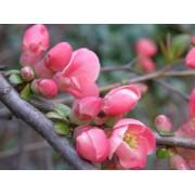 Eximia japánbirs / Chaenomeles japonica 'Eximia'