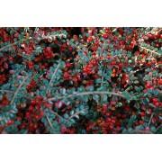 Dwergmispel Cotoneaster adpressus 'Little Gem'