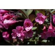 Bordó levelű Alexandra rózsalonc / Weigela florida 'Alexandra'