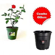 Red Rose Desi Plant with Freebie