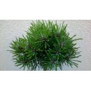 Pinus mugo Esvezd