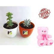 ES SECCULENT PAIR DECORATIVE WITH FREE COMBO GIFT - 6 TEDDYBEAR-PINK