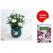 ES Decorative White Rose Plant with Indica Hybrid Seeds
