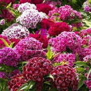 Sweet William Flower 10x Quality Seeds For Home Garden