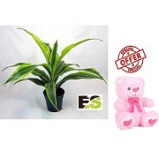 ES DRYCHEAN YELLOW GREEN NATURAL LIVE PLANT WITH FREE COMBO GIFT - 6 TEDDYBEAR-PINK