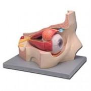 modello anatomico occhio con orbita - ingrandimento 5x - colorato - 11