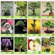 Bonsai Suitable Seeds : Balcony Seeds Combo Ficus Religiosa Grape Water Jasmine Thuja Orientalis Albizia Lebbeck Eucalyptus Bamboo Gulmohar Jacaranda Garden Seeds Pack By Creativefarmer