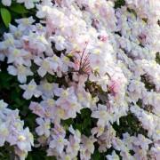 Hegyi iszalag / Clematis montana 'Mayleen'