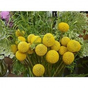 Flower Seeds : Woollyheads New Zealand Flower Seeds Hanging Mix Flower Seeds Garden Home Garden Seeds Eco Pack Plant Seeds By Creative Farmer