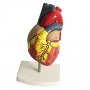 Street27 Human Lifesize Anatomical Emulational Heart Anatomy Viscera Model Learning