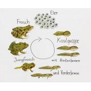 Betzold Magnetischer Lebenszyklus Frosch